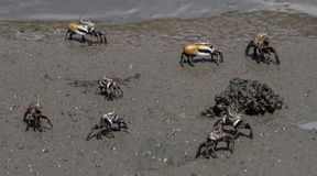 Opiniónes alrededor de Boca Sami - cangrejos fotos de archivo