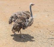 Opiniões de Curaçau da exploração agrícola da avestruz imagens de stock