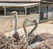 Opiniões de Curaçau da exploração agrícola da avestruz fotografia de stock royalty free
