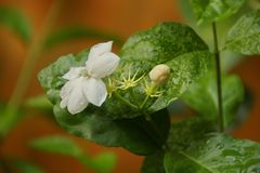 Opini?n de la naturaleza del primer de la flor del jazm?n en jard?n en el verano bajo luz del sol fotografía de archivo
