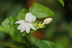 Opini?n de la naturaleza del primer de la flor del jazm?n en jard?n en el verano bajo luz del sol imagen de archivo