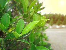 Opini?n de la naturaleza del primer de la hoja verde en jard?n en el verano bajo luz del sol fotos de archivo