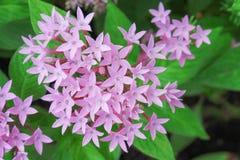 Opini?n superior floreciente egipcia rosada colorida de la flor del starcluste o de la estrella en jard?n imagen de archivo libre de regalías