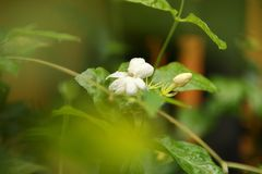 Opini?o da natureza do close up da flor do jasmim no jardim no ver?o sob a luz solar imagens de stock royalty free