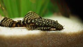 Opini?o do close-up o peixe-gato manchado pequeno bonito que flutua na parte inferior do aqu?rio perto das algas verdes Quadro es filme