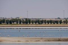 Opini?o grandes flamingos em Al Wathba Wetland Reserve Abu Dhabi, UAE fotografia de stock royalty free