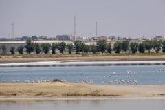 Opini?o grandes flamingos em Al Wathba Wetland Reserve Abu Dhabi, UAE fotos de stock royalty free
