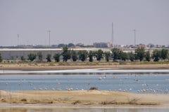 Opini?o grandes flamingos em Al Wathba Wetland Reserve Abu Dhabi, UAE fotografia de stock