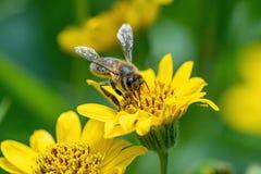 Opini?o pr?xima a abelha na flor amarela da erva de ArnicaArnica Montana Nota: Profundidade de campo rasa imagem de stock royalty free