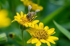 Opini?o pr?xima a abelha na flor amarela da erva de ArnicaArnica Montana Nota: Profundidade de campo rasa fotos de stock royalty free