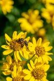 Opini?o pr?xima a abelha na flor amarela da erva de ArnicaArnica Montana Nota: Profundidade de campo rasa imagem de stock