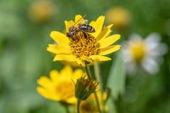 Opini?o pr?xima a abelha na flor amarela da erva de ArnicaArnica Montana Nota: Profundidade de campo rasa foto de stock royalty free