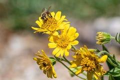Opini?o pr?xima a abelha na flor amarela da erva de ArnicaArnica Montana Nota: Profundidade de campo rasa imagens de stock