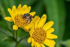 Opini?o pr?xima a abelha na flor amarela da erva de ArnicaArnica Montana Nota: Profundidade de campo rasa imagens de stock royalty free