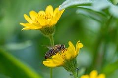 Opini?o pr?xima a abelha na flor amarela da erva de ArnicaArnica Montana Nota: Profundidade de campo rasa fotografia de stock royalty free