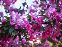 Opini?o pr?xima dos ramos das flores de cerejeira foto de stock
