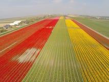 Opinión aérea sobre campos del tulipán en Holanda Fotos de archivo libres de regalías
