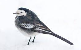 Opinión de varios colores europea del perfil del Wagtail en nieve del invierno Imagen de archivo