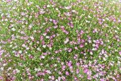 Opinión del primer de la flor del gypsophila Fotografía de archivo