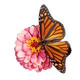Opinión dorsal una mariposa de monarca femenino Imágenes de archivo libres de regalías