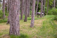 Opinión los caballos que pastan Fotografía de archivo