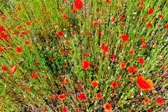 Opinión superior de las amapolas rojas Imagen de archivo libre de regalías