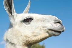 Opinião branca do perfil da cabeça da Lama no céu azul Fotos de Stock