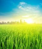 Opinião da paisagem sobre o cultivo da plantação do campo do arroz Fotografia de Stock