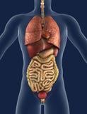 Opinião dianteira de órgãos internos Imagem de Stock Royalty Free