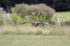 Opinião do campo de um eurasian & de um x28; European& x29; coruja de águia no baixo fligh Imagens de Stock