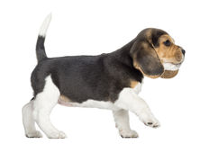 Opinião lateral um cachorrinho do lebreiro que anda, pawing acima, isolado Fotografia de Stock