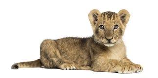 Opinião lateral um filhote de leão que encontra-se, olhando a câmera Imagem de Stock