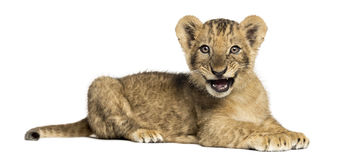 Opinião lateral um filhote de leão que encontra-se, rujindo, 10 semanas velho, isolado Fotografia de Stock