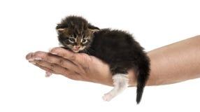Opinião lateral um gatinho do racum de Maine na mão humana Imagens de Stock
