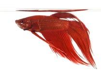 Opinião lateral um peixe de combate Siamese, splendens de Betta Imagens de Stock Royalty Free