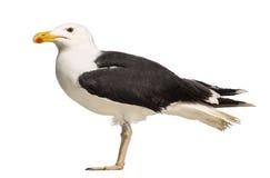 Opinião lateral uma grande gaivota com o dorso negro masculina Imagem de Stock Royalty Free
