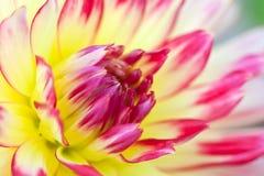 Opinião macro uma dália amarela da flor Fotografia de Stock