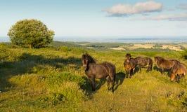 Opiniones BRITÁNICAS del campo de Somerset England de los potros de las colinas salvajes de Quantock en una tarde del verano Fotos de archivo