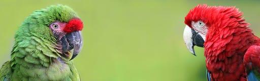Opiniones del retrato Macaws con el espacio de la copia Fotografía de archivo
