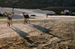 Opiniones salvajes de Curaçao de los burros imagen de archivo libre de regalías