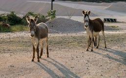 Opiniones salvajes de Curaçao de los burros foto de archivo libre de regalías