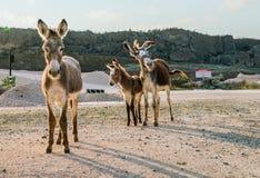 Opiniones salvajes de Curaçao de los burros fotografía de archivo