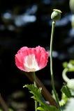 Opio rosado Foto de archivo libre de regalías