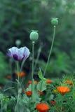 Opium Photographie stock libre de droits