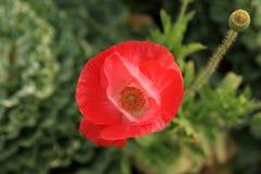 Opium photos libres de droits
