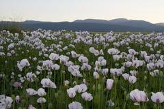 Opium Stock Image