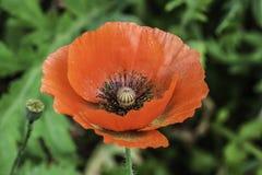 opium Fotografia de Stock Royalty Free