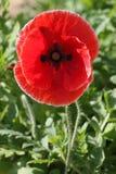 Opium Stock Images