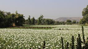 Opium Blooming With Cactus. Blossom Opium farming in country side with cactus and hill. India Stock Photography