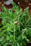 Opium budding Stock Image